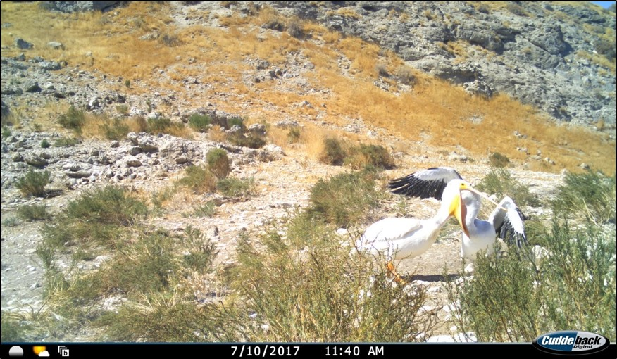 camera trap image of a juvenile pelican inserting its beak into the pouch of another pelican to feed