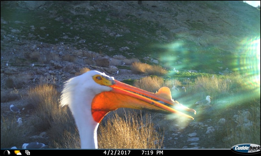 camera trap image of a backlit pelican's head with light showing through its pouch