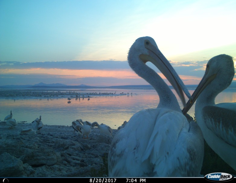 camera trap image of juvenile American white pelicans on Gunnison Island at sunset